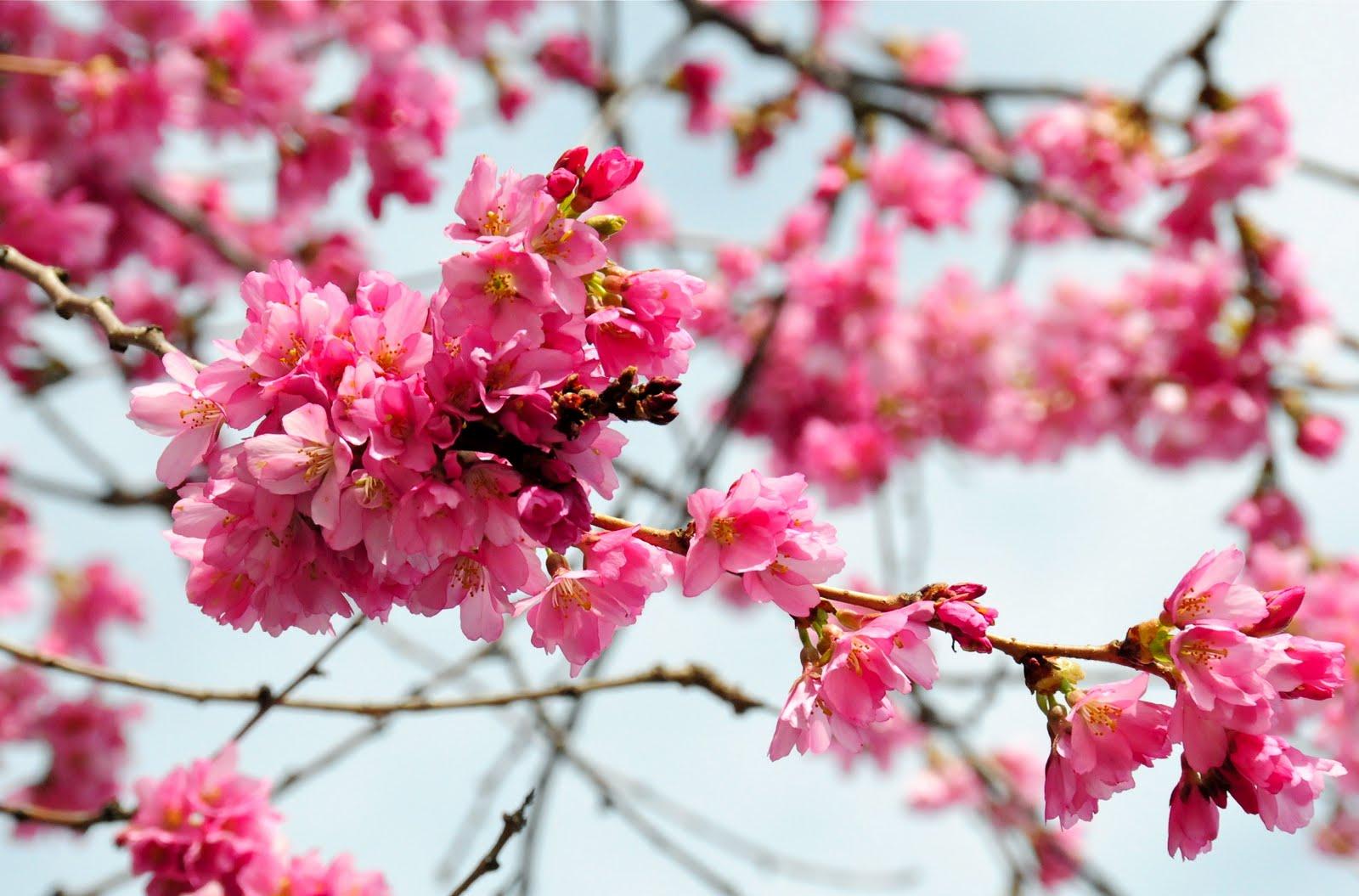 Cherry Blossom - Russe...